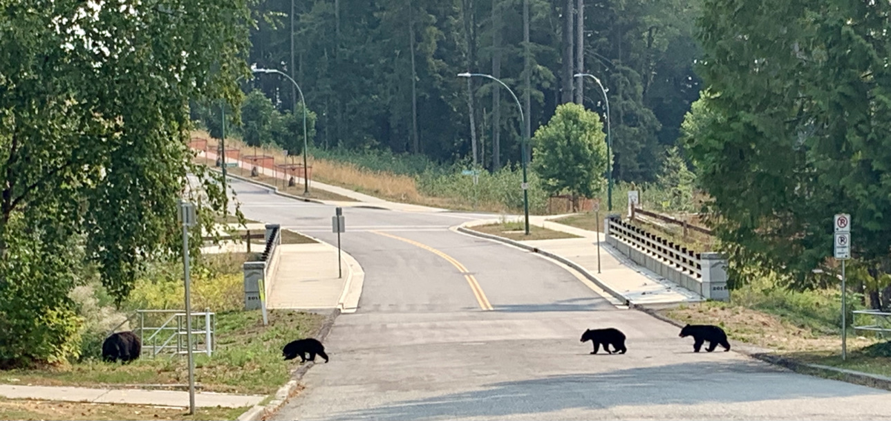 mama bear crossing Highland Drive followed by her three cubs